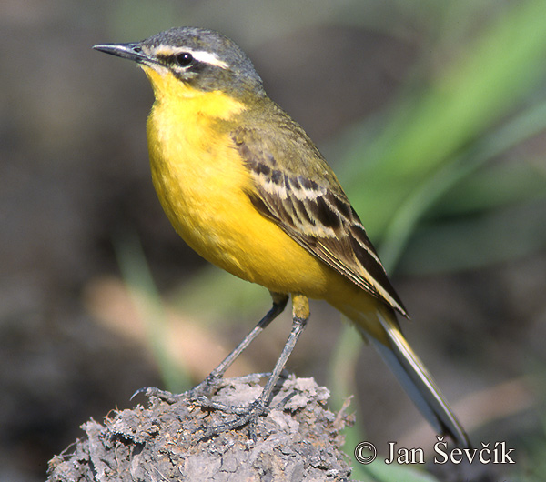 Photo of konipas luční Motacilla flava Yellow Wagtail Schafstelze