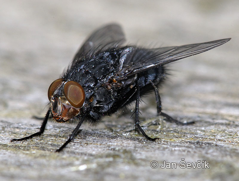 Photo of moucha Calliphora vicina Fly Fliege