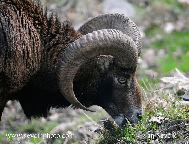 Photo of  muflon Ovis musimon Mouflon Mufflon