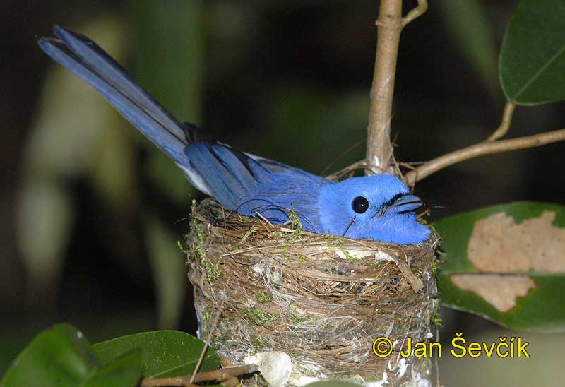 Photo of lejsek modrý Eumyias sordida Dusky-blue Flycatcher Ceylon Schnapper