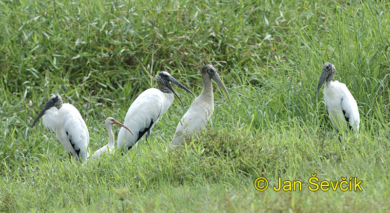 Photo of nesyt lesní, Mycteria americana, Wood Stork, Ciguena Americana