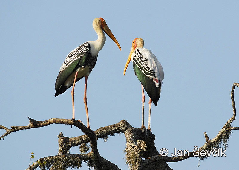 Photo of nesyt indomalajský Mycteria leucocephala Painted Stork