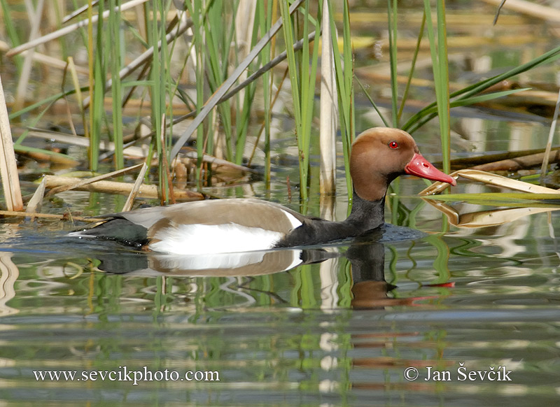 Photo of zrzohlávka rudozobá Netta rufina Red-crested Pochard Kolbenente