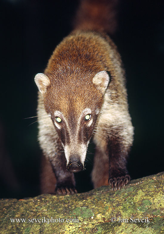 Photo of nosál bělohubý Nasua narica White-nosed Coati Weissrusselnasenbar
