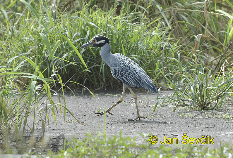 Photo of kvakoš žlutočelý Nyctanassa violacea Yellow crowned Night Heron Pedrete Enmascarado