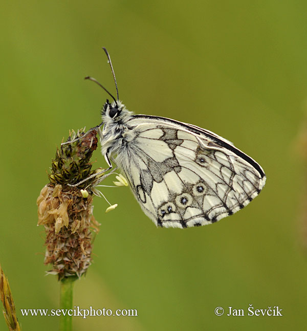 Photo of okáč bojínkový Melanargia galathea Marbled White