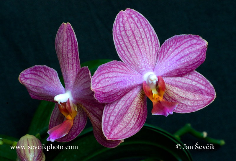 Photo of orchidea orchid Phalaenopsis