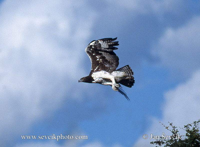 Photo of orel bojovný Polemaetus bellicosus  Martial Eagle