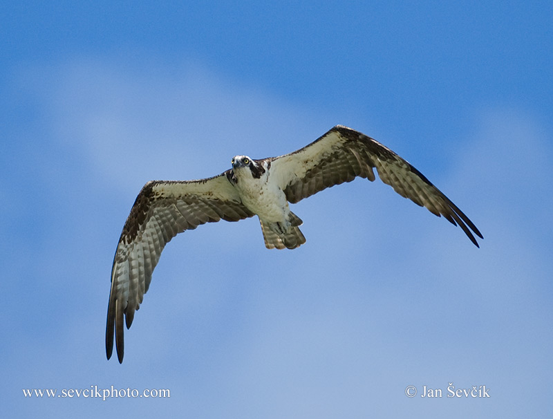 Photo of orlovec říční Pandion haliaetus Osprey Fischadler