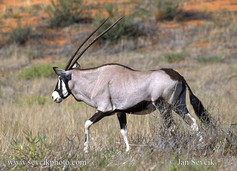 Photo of oryx jihoafrický Gemsbok Spiessbock Oryx gazella