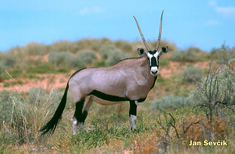 Photo of oryx jihoafrický, Gemsbok, Spiessbock, Oryx gazella.
