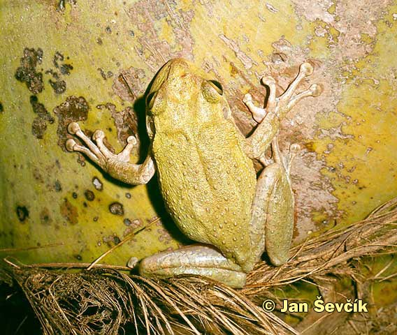 Photo of rosnička kubánská, Cuban Tree Frog, Kubalaubfrosch, Osteopilus septentrionalis.