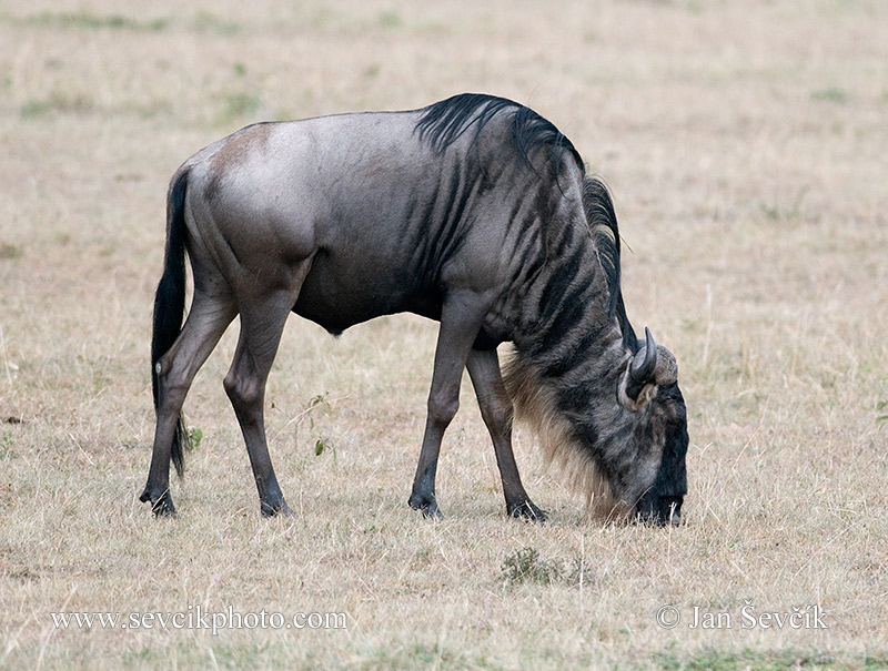 Photo of pakůň žíhaný Connochaetes taurinus Wildebeest