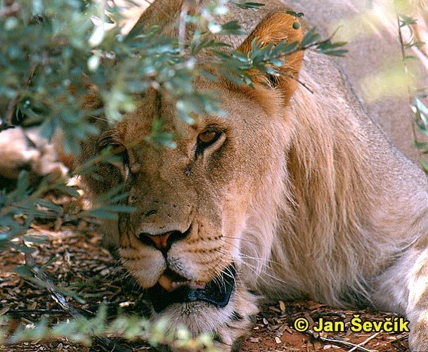 Photo of lev, African Lion, Lowe, Panthera leo