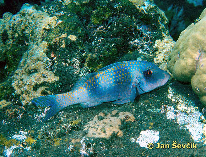 Photo of Doublebar goatfish, Parupeneus bifasciatus