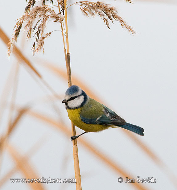 Photo of sýkora modřinka Parus caeruleus Blue Tit Blau Meise