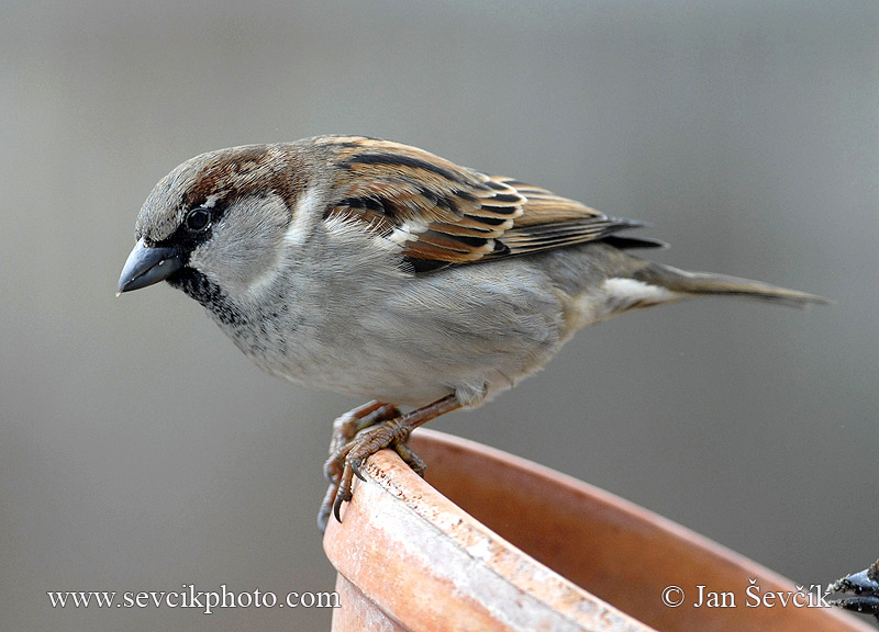 Photo of vrabec domácí Passer domesticus House Sparrow Haussperling