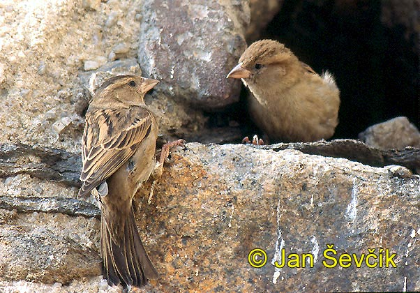Photo of vrabec domácí, Passer domesticus, House Sparrow, Haussperling