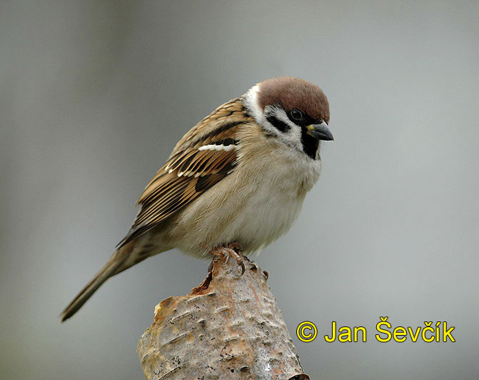 Photo of vrabec polní, Passer montanus, Tree Sparrow, Feld Sperling