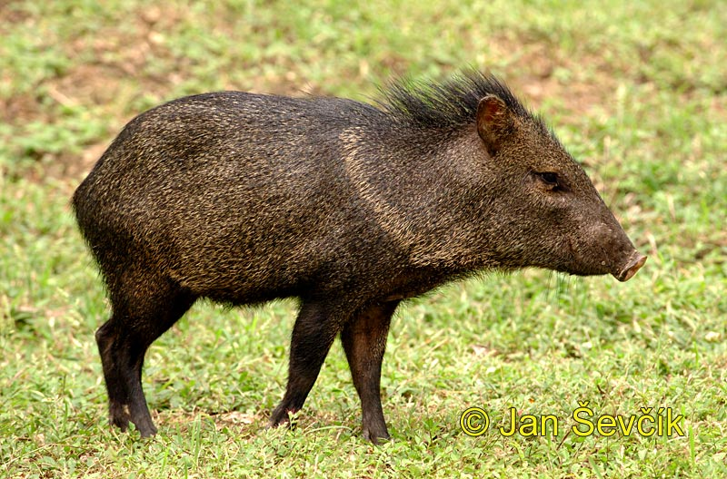 Photo of pekari páskovaný, Pecari tajacu, Collared Peccary