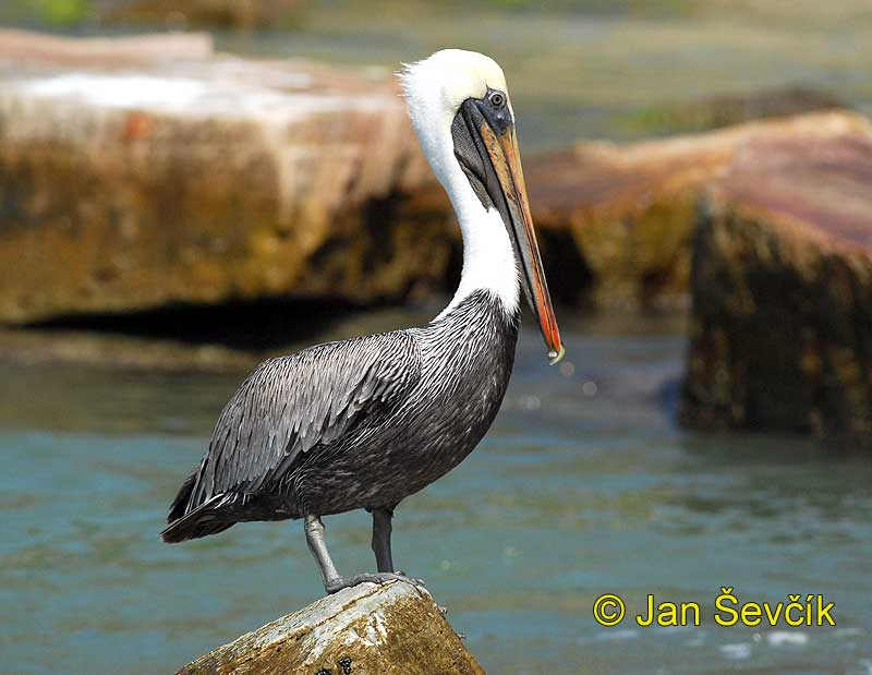 Photo of pelikán hnědý Pelecanus occidentalis Brown Pelican Braunpelikan Pelícano Alcatraz