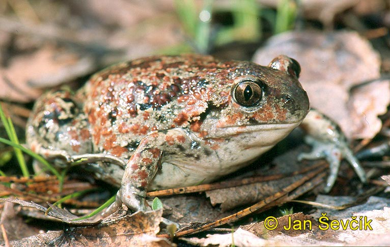 Photo of blatnice skvrnitá, Pelobates fuscus, Common Spadefoot, Knoblauchskrote