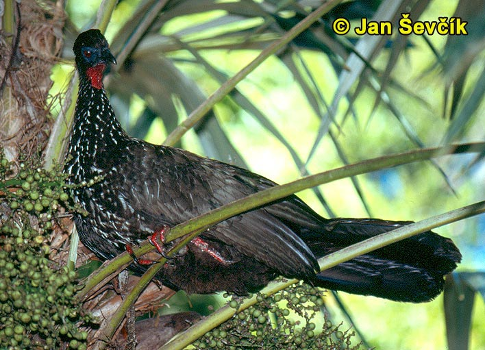 Photo of Penelope purpurascens, Crested Guan, Pava Cojolita, Rostbauchguan.