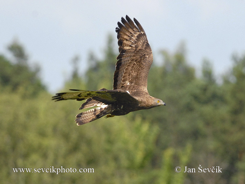 Photo of včelojed lesní Pernis apivorus Honey Buzzard Wespenbussard