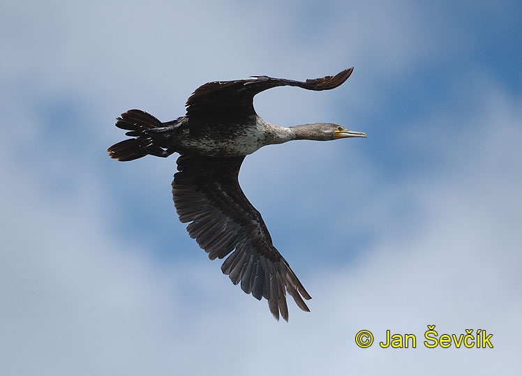 Photo ofkormorán velký, Great Cormorant, Kormoran, Phalacrocorax carbo