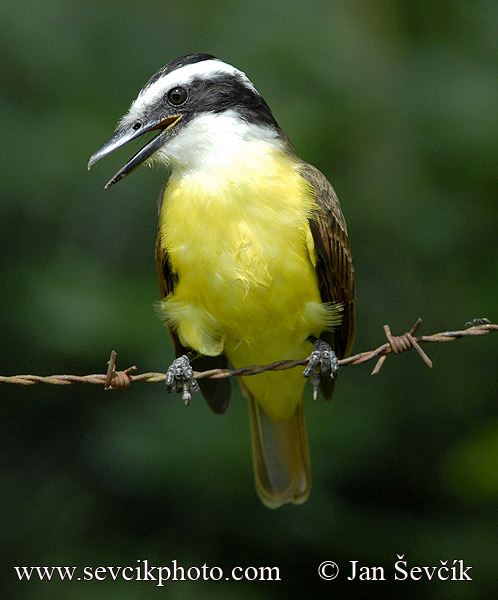 Photo of tyran žlutobřichý Pitangus sulphuratus Great Kiskadee Tyran Bientevi