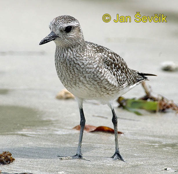 Photo of kulík bledý, Pluvialis squatarola, Black bellied Plover, Chorlo gris