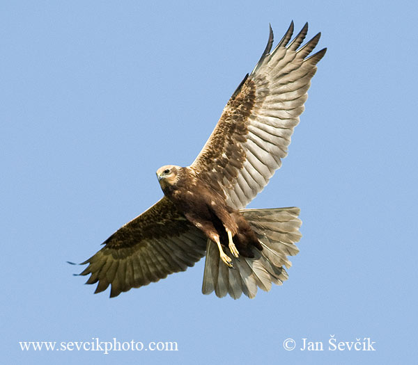 Photo of moták pochop Circus aeruginosus Marsh Harrier Rohrweihe