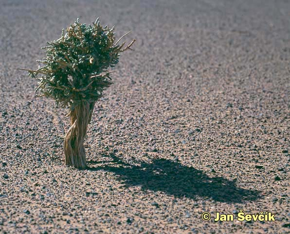 Photo of pouštní bonsai, bonsai in the desert, Morocco.