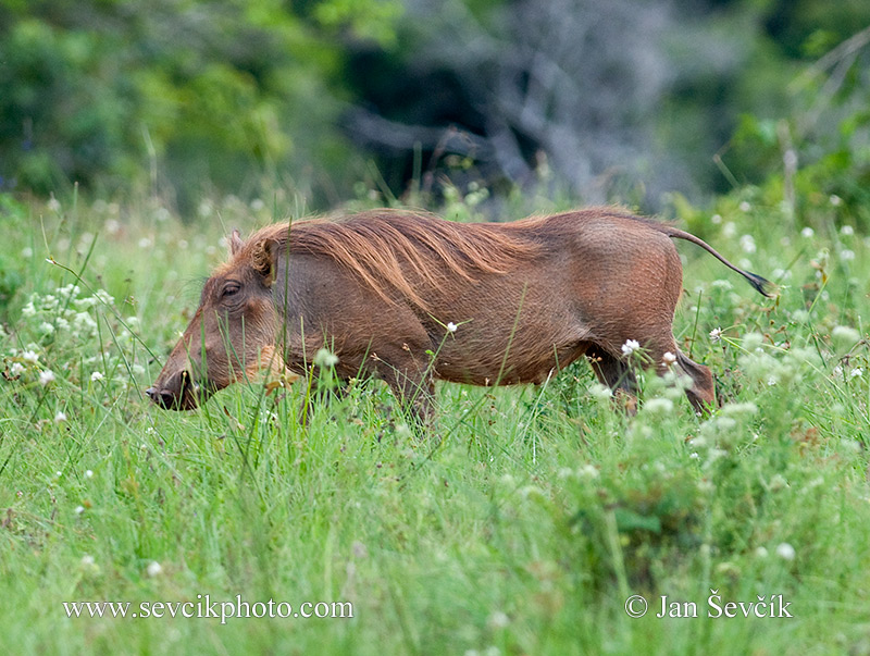 Photo of prase savanové Phacochoerus africanus Common Warthog Warzenschwein Ngiri