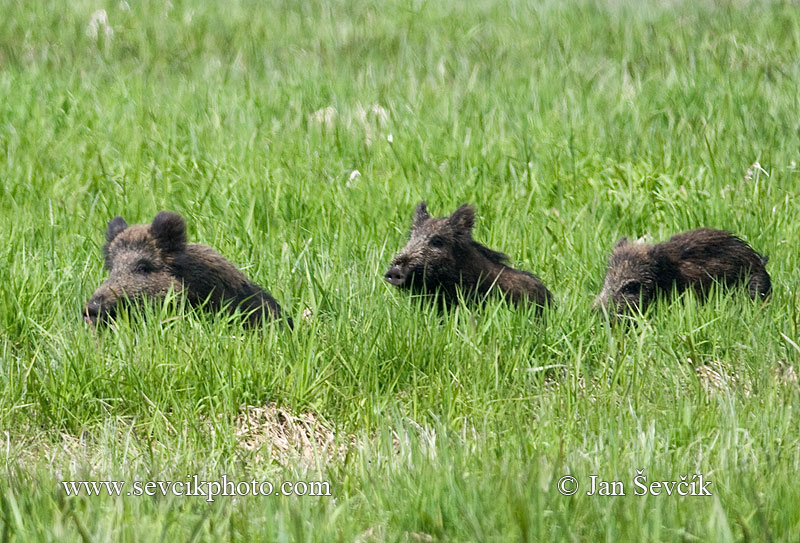Photo of prase divoké Sus scrofa Wild Boar Wildschwein