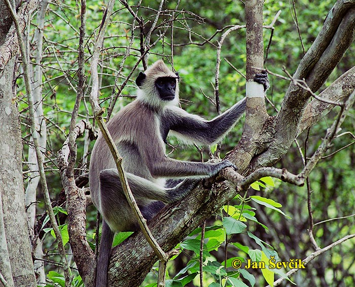 Photo of hulman posvátný, Semnopithecus entellus, Grey Langur, Hanumanlangur