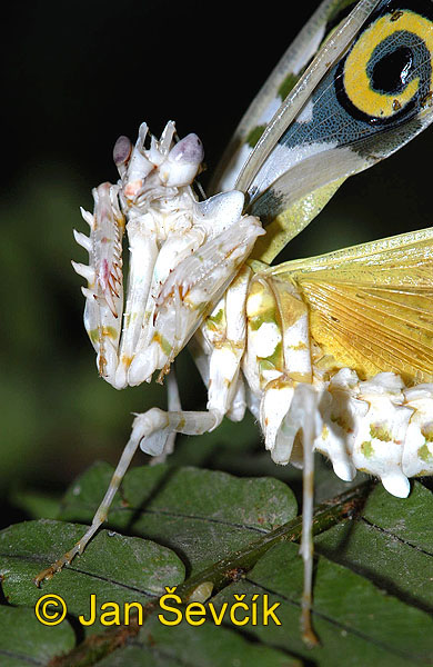 Photo of kudlanka Pseudocreobotra wahlbergii Spiny Flower Praying Mantis Blutenmantis