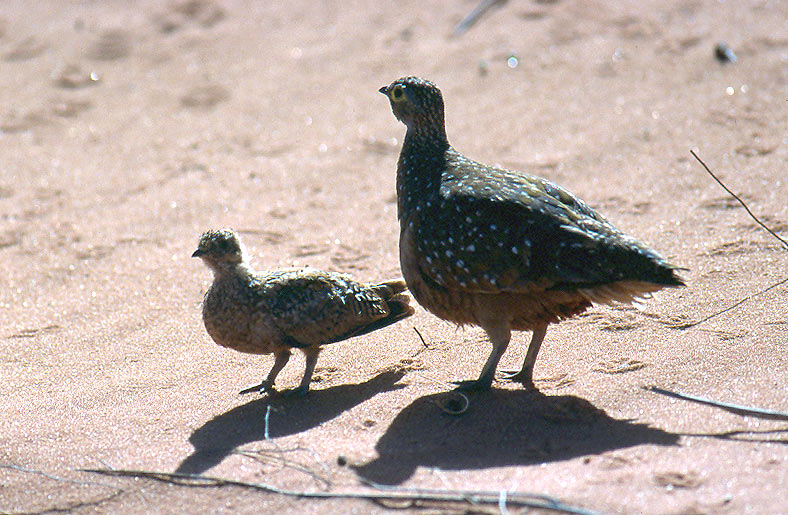 Photo of stepokur proměnlivý, Pterocles burchelli, Burchell´s Sandgrouse