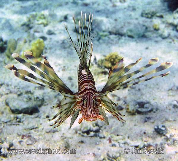 Photo of perutýn ohnivý, Pterois volitans, Red Firefish