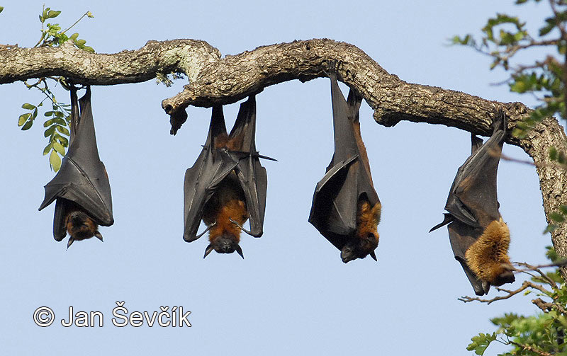 Photo of kaloň indický Pteropus giganteus Indian Flying Fox Indischer Flughunde