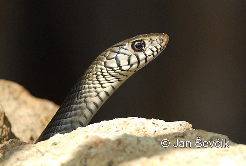 Photo of ptyas  Ptyas mucosa Banded Rat Snake Asiatische Ratten Schlange