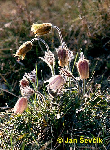 Photo of koniklec jarní, Pulsatilla vernalis .