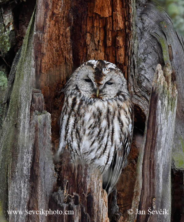 Photo of puštík obecný Strix aluco Tawny Owl Waldkauz