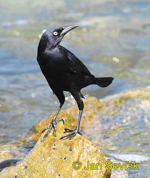 Photo of vlhovec karibský Quiscalus lugubris Zanate Caribeno Carib Grackle Trauergrackel