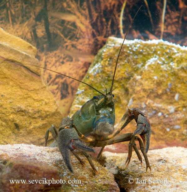 Photo of rak říční Astacus astacus European Crayfish Edelkrebs