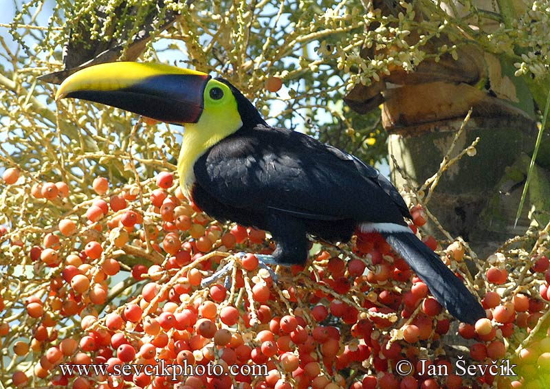 Photo of tukan hnědohřbetý Ramphastos swainsonii Chestnut-mandibled Toucan Swainsontukan