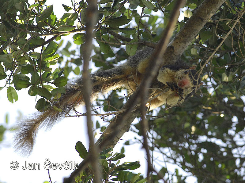 Photo of ratufa černoprstá Ratufa macroura Grizzled Giant Squirrel Riesenhornchen