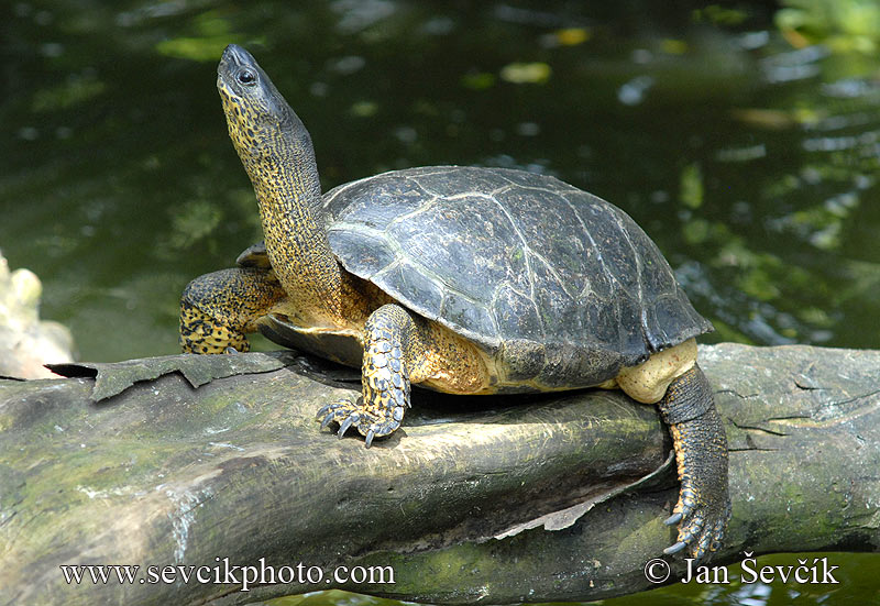 Photo of želva Rhinoclemmys funerea Black Turtle