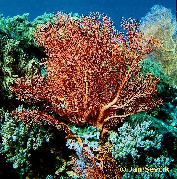 Photo of rohovitka, sea fan.