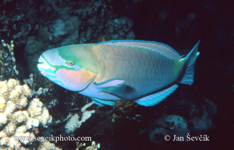 Photo of ploskozubec Chlorurus sordidus Parrotfish